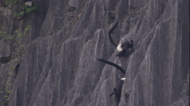 Delacour's langurs clamber along a cliff face. Available in HD.
