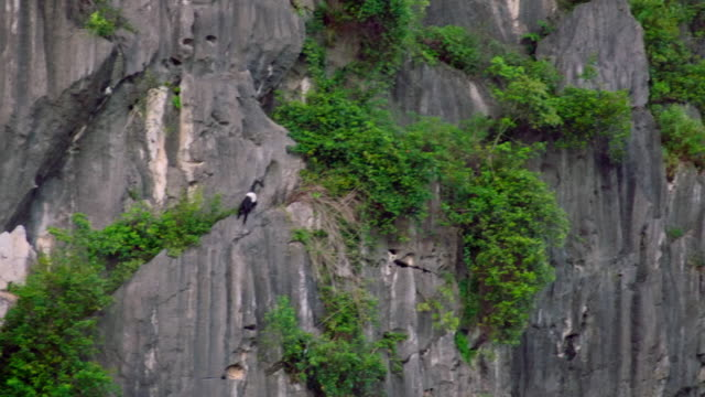 delacour's langurs climb across rock face, vietnam - rock face stock videos & royalty-free footage