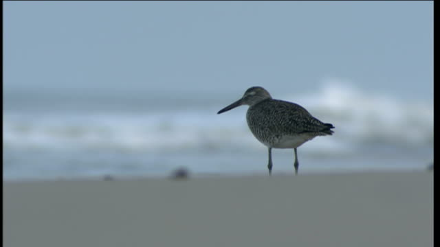 vídeos de stock, filmes e b-roll de hazy beach general views good shot of greybrown bird standing on sand pitched against soft focus surf / men fishing on the beach seen through haze - soft focus