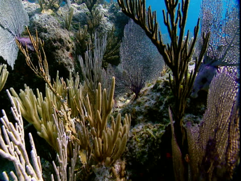 delicate fan corals and other soft corals undulate in the ocean's current. - other stock videos & royalty-free footage