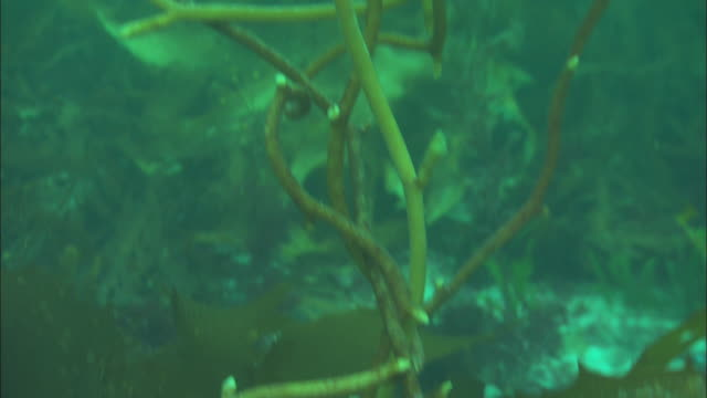 stockvideo's en b-roll-footage met delicate kelp stems sway in the ocean's current. available in hd. - kelp
