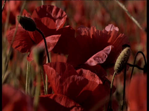 delicate petals of red poppies fluttering gently in summer breeze - armistice stock videos & royalty-free footage