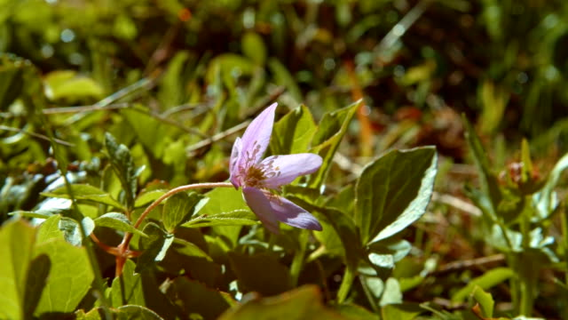vídeos y material grabado en eventos de stock de delicate small purple meadow wildflower anemone oregana blue windflower oregon anemone western wood anemone - monumento nacional