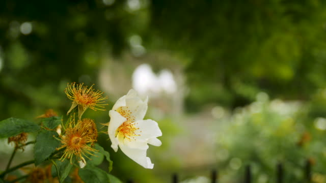 A delicate white and yellow flower quivers in a breeze against a defocused background, Canterbury, UK.