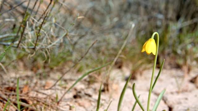 Delicate yellow bells desert wildflower cracked earth survival 2 Spring Sutton Mountain John Day Great Basin High Desert Columbia Plateau