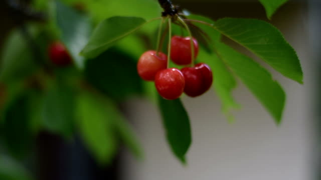 delicious red cherries hanging on tree branch - red delicious stock videos & royalty-free footage