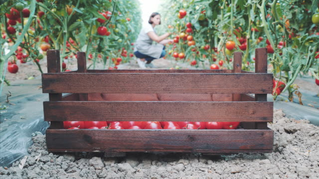 vídeos de stock e filmes b-roll de i delivery every day fresh tomatoes. - sustainable resources