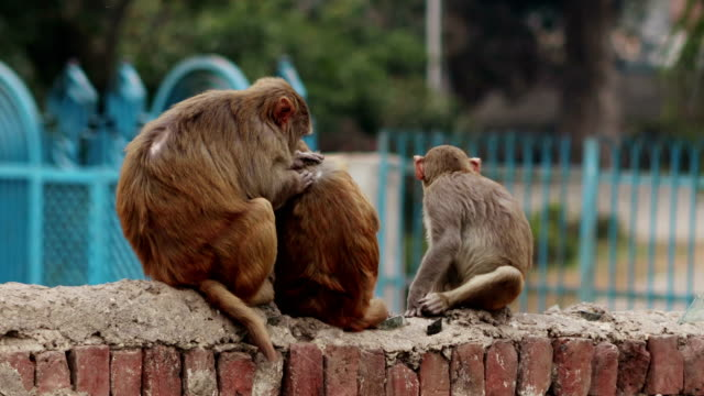 delousing monkey - small group of animals stock videos & royalty-free footage