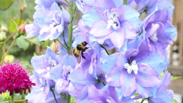 A Delphinium flower being pollinated by a Bumblebe