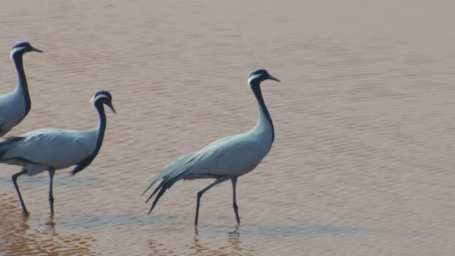 HA MS Demoiselle crane standing in water and preening ZO to WS with large flock