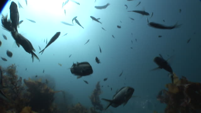demoiselle (family pomacentridae) school around kelp (order laminariales), poor knights, new zealand - barbel stock videos and b-roll footage