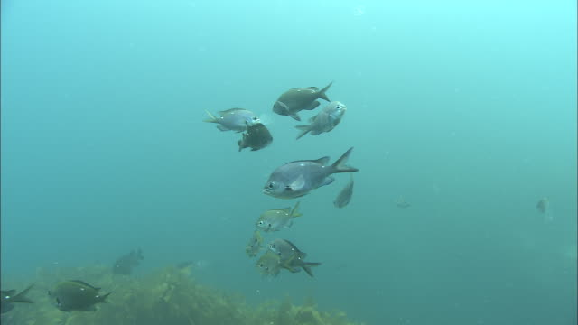 demoiselles (chromis dispilus) feed on salps (tunicata), poor knights islands, new zealand - sea squirt stock videos & royalty-free footage