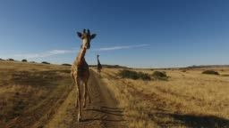Demonstration of the actual motion of a giraffe running
