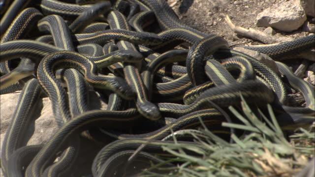 vidéos et rushes de a den of garter snakes slither over each other. - terrier création animale