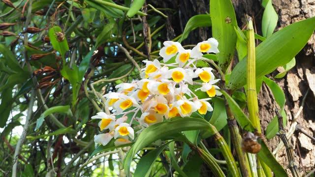 dendrobium thyrsiflorum rchb. f. - orchid stock videos & royalty-free footage