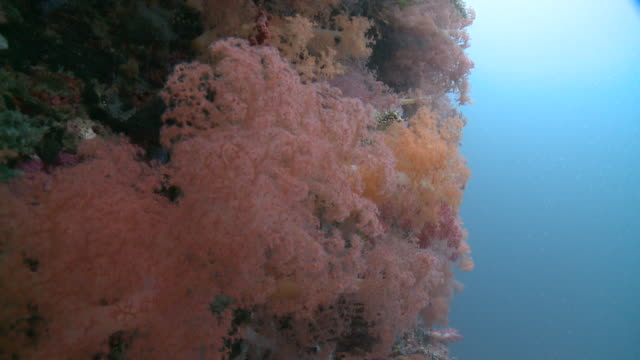 dendronephthya soft coral, monad shoa, malapascua, philippines - soft coral stock videos & royalty-free footage