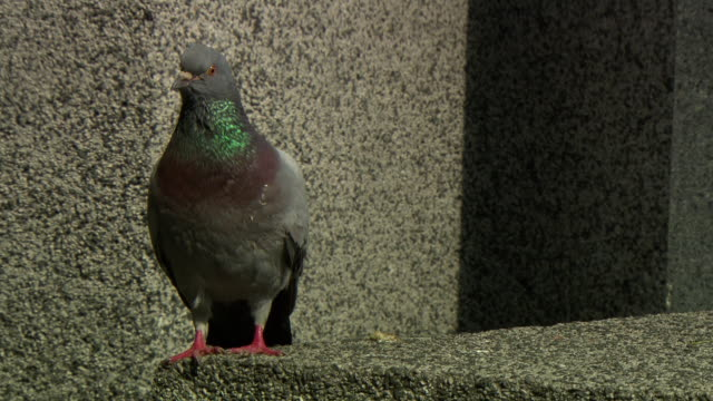 denkmal der republic - pigeon on the republic monument in vienna - traditionally austrian stock videos and b-roll footage