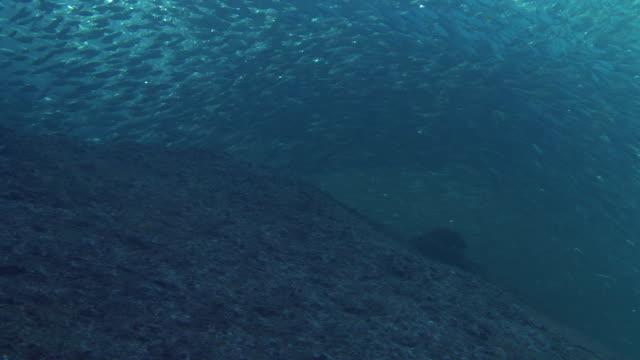 A dense bait ball swarms above underwater rocks.
