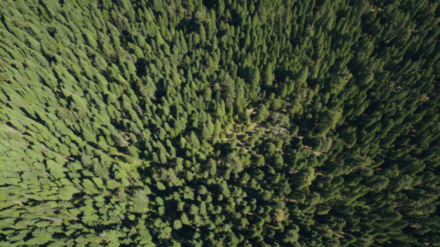 vídeos y material grabado en eventos de stock de dense evergreen forest in the sierra nevada, california, viewed from overhead. - secoya gigante