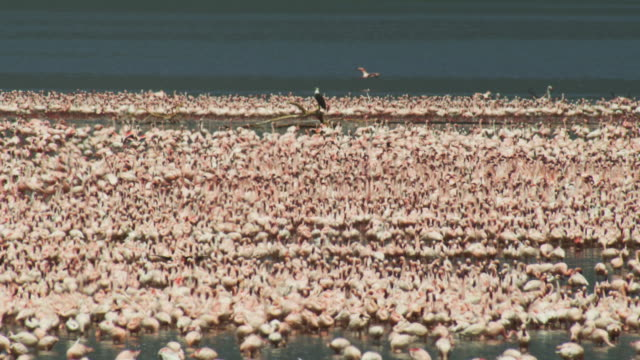 dense flock of flamingoes with african fish eagle perched on branch in the middle in heat haze - african fish eagle stock videos & royalty-free footage