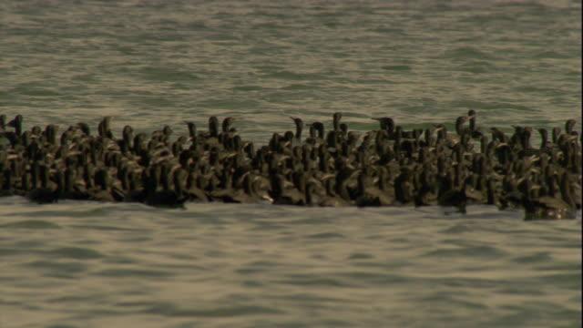 vídeos y material grabado en eventos de stock de a dense flock of socotra cormorants float in the persian gulf. available in hd. - golfo pérsico