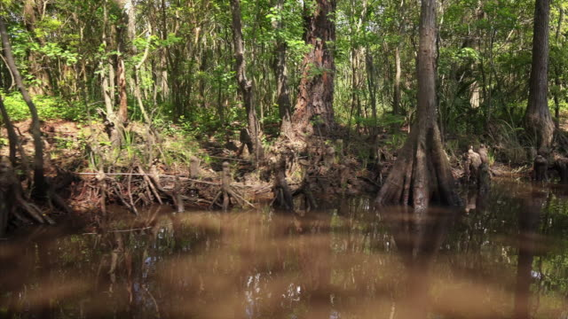 dense foliage along bank of a mississippi swamp - mississippi river stock videos & royalty-free footage