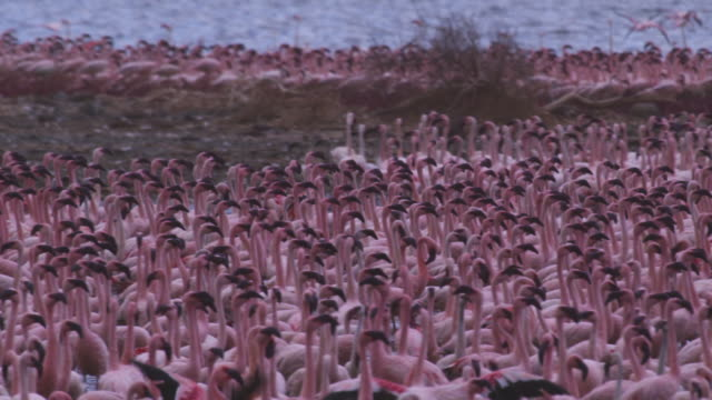 CU dense group of African Lesser flamingoes walk and parade in shallows