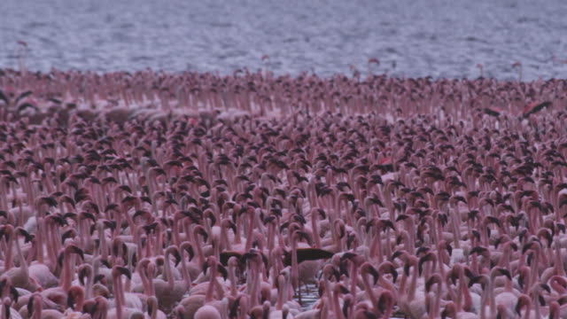 cu dense group of african lesser flamingoes walk and parade in shallows - 50 seconds or greater stock videos & royalty-free footage