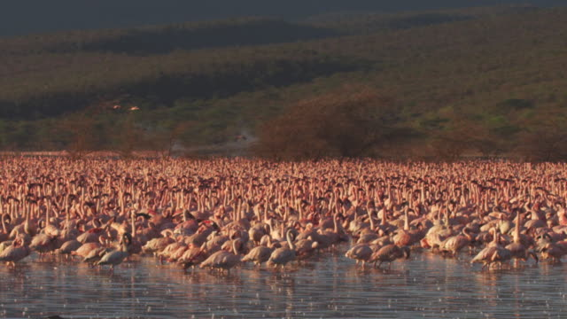 Dense group of African Lesser flamingoes walk and parade in shallows with trees in background