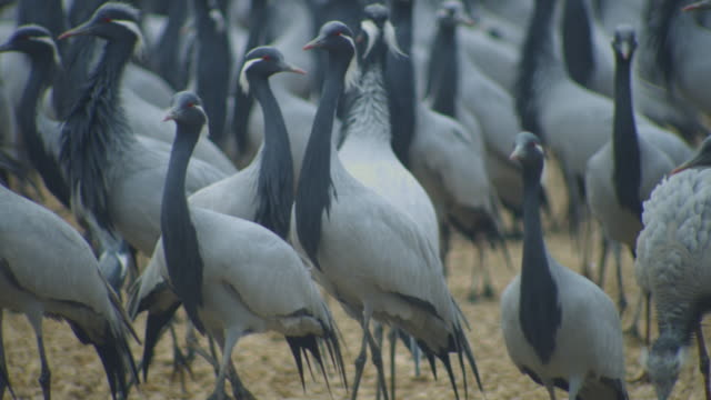 ms dense group of demoiselle cranes arriving and walking round feeding station, fluffing plumage - large group of animals stock-videos und b-roll-filmmaterial