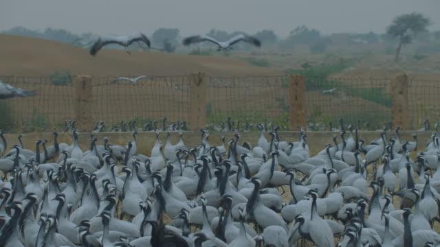 WA dense group of Demoiselle cranes feeding on grain in feeding area with birds flying away overhead TD to MS crane group feeding