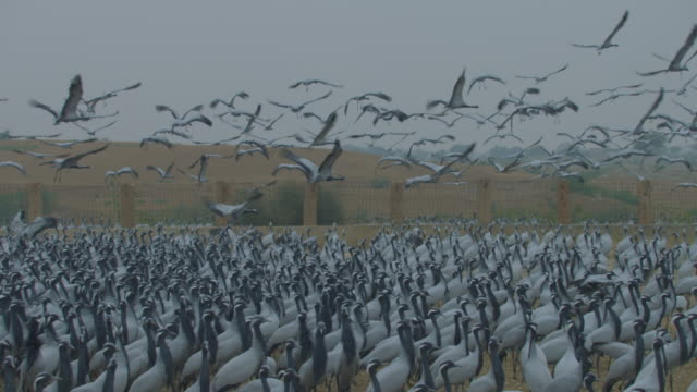 ms dense group of demoiselle cranes pan right with birds flying in overhead with cranes filling foreground - large group of animals stock-videos und b-roll-filmmaterial