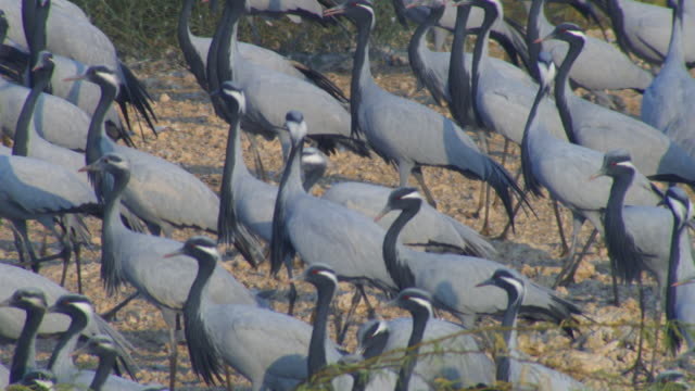 ha ms dense group of demoiselle cranes walking left then tu and pan l with them as they take off slo mo - large group of animals stock-videos und b-roll-filmmaterial