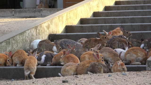 vidéos et rushes de dense group of feral domestic rabbits eat on steps of hotel - marches et escaliers