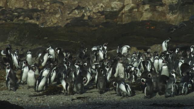 dense group of humboldt penguins preening on beach - preening animal behavior stock videos & royalty-free footage