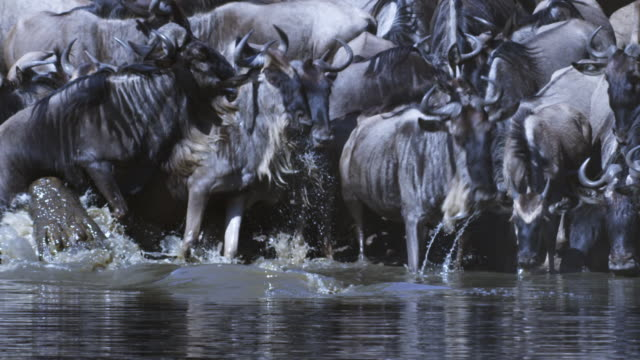slomo dense group of wildebeest drink from river and nile crocodile attacks from water and grabs one by the foreleg - 獲物を狩る点の映像素材/bロール