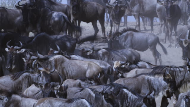 stockvideo's en b-roll-footage met cu dense group of wildebeest milling by riverbank td to ones drinking from river who then stampede away - op hol slaan