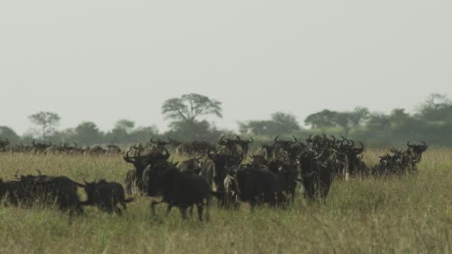 vídeos de stock, filmes e b-roll de dense herd of wildebeest runs towards camera through long grass - antílope mamífero ungulado