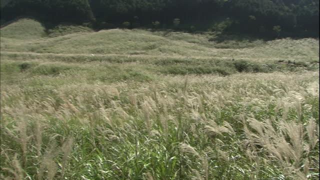 Dense Japanese pampas grass blankets the Sengokuhara Highland in Hakone, Japan.