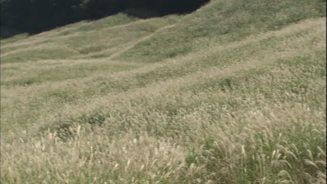 Dense Japanese silver grass covers a mountain slope in Sengokuhara Highland in Hakone, Japan.