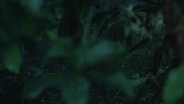 vidéos et rushes de a dense jungle canopy passes by. - tropical