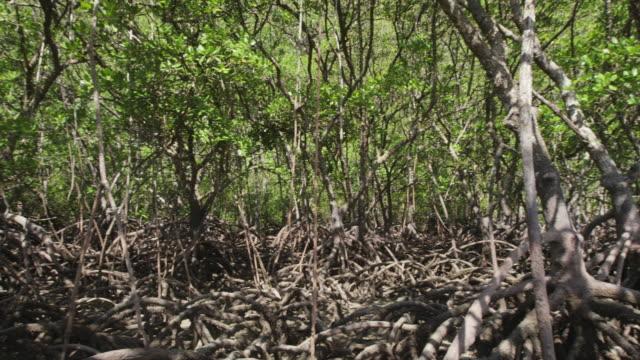 dense mangrove forest - pan left - mangrove tree stock videos & royalty-free footage