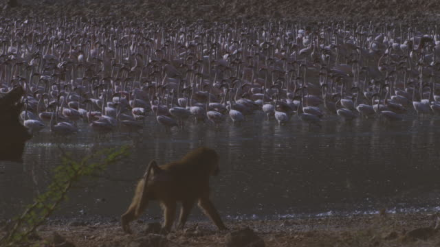 dense mass of flamingoes walk through shallows of lake bogoria with olive baboon walking in foreground - flamingo bird stock videos & royalty-free footage