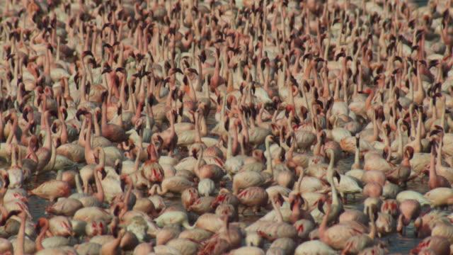 dense mass of lesser flamingoes filling frame - flock of birds stock videos & royalty-free footage