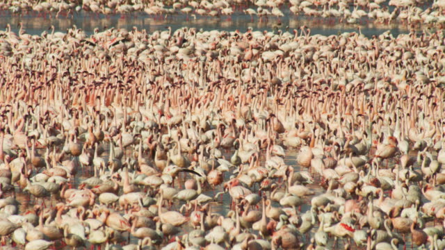 dense mass of lesser flamingoes filling frame with group parading in centre - flock of birds stock videos & royalty-free footage