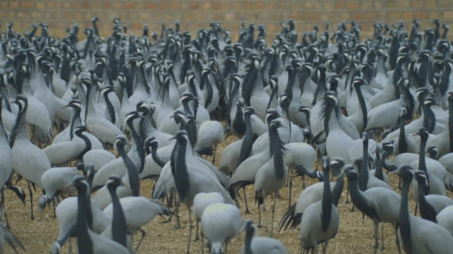 ws dense massed group of demoiselle cranes in feeding area milling around - large group of animals stock-videos und b-roll-filmmaterial