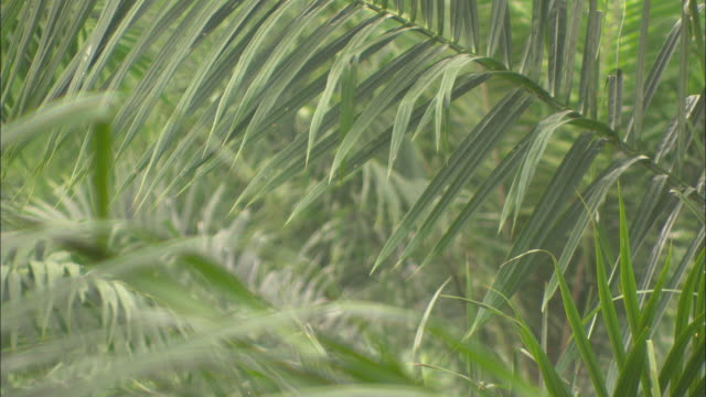 dense palm fronds lie across each other. - malaysia stock videos & royalty-free footage