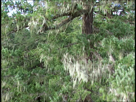 dense pine trees grow in washington's temperate rainforest. - temperate rainforest stock videos & royalty-free footage
