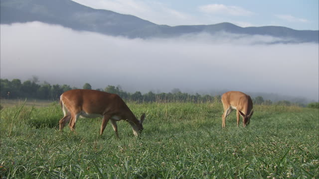 a dense ribbon of fog encircles a grassy meadow where deer graze in the appalachian mountains. - doe stock videos & royalty-free footage