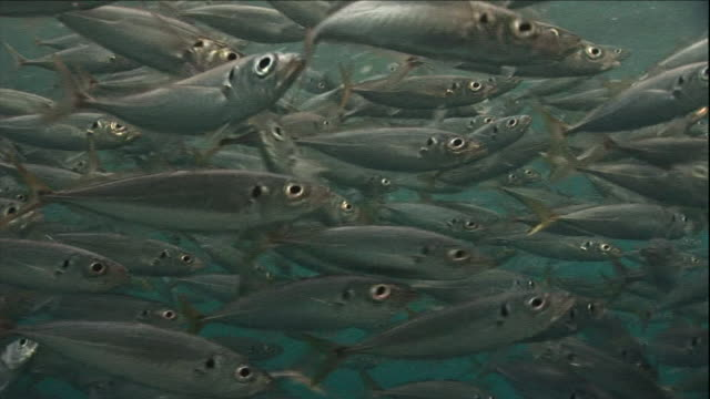 a dense school of fish swarms at the surface of the ocean. - fisch stock-videos und b-roll-filmmaterial